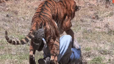 Viral VIDEO τιγρης