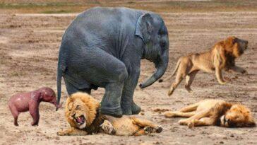 Viral video Ελεφαντας πατα λιονταρι